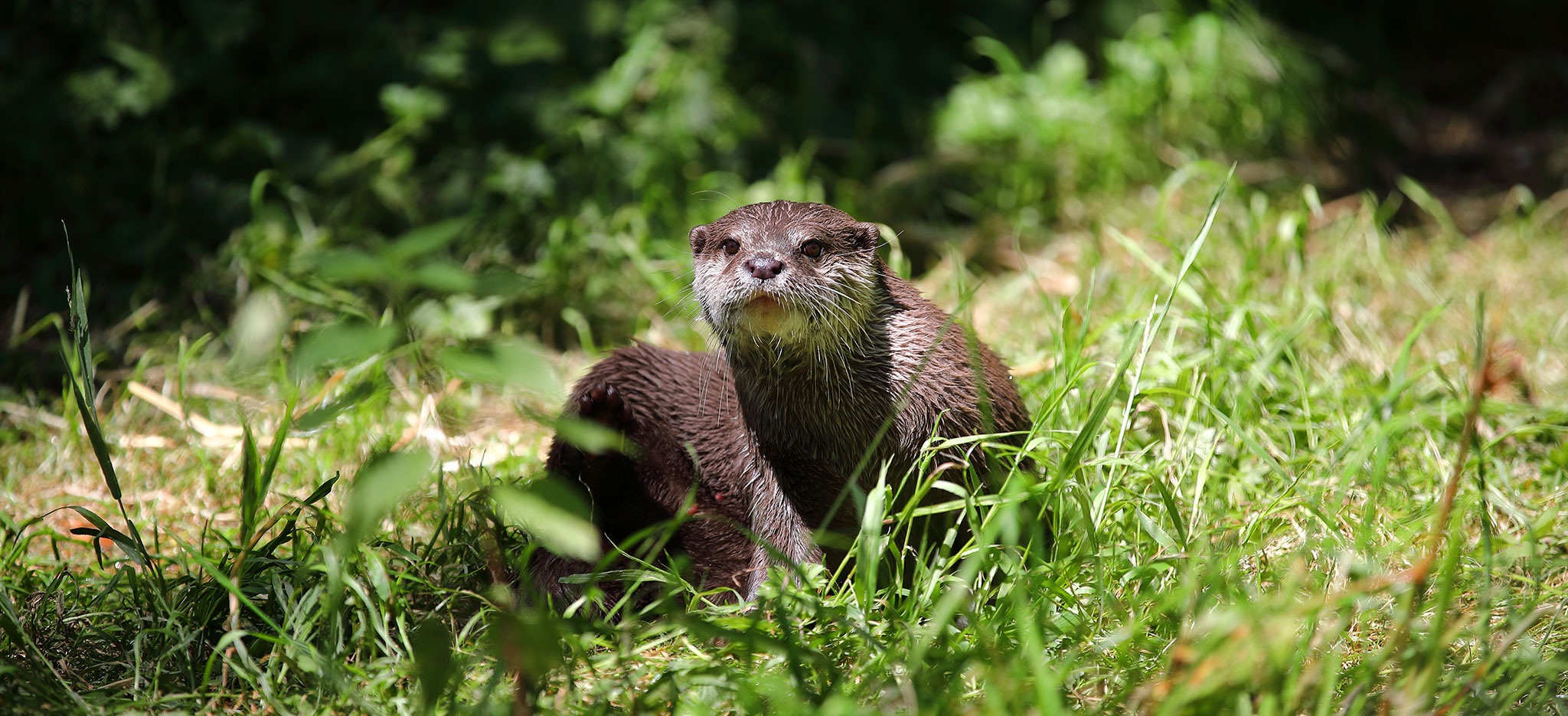 Otter in Cornwall